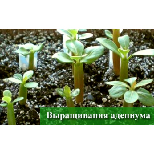 Выращивание адениума тучного в домашних условиях