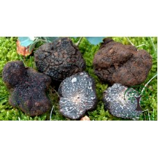 Трюфель черный: выращивание царя грибов в теплице и на приусадебном участке!